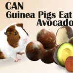 🥑 Can Guinea Pigs Eat Avocado? Benefits and Risks