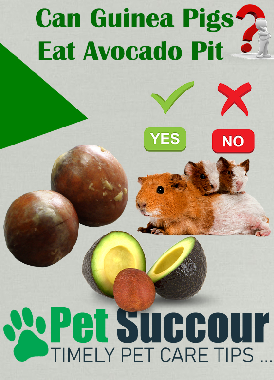 Can Guinea Pigs Eat Avocado Pit?