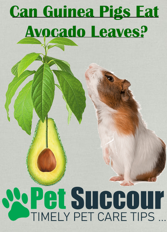Can Guinea Pigs eat Avocado Leaves?