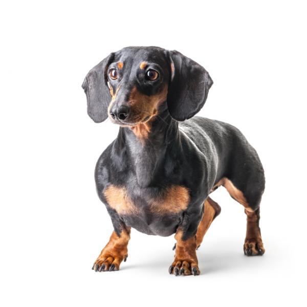 Dachshund: Dog breeds that do not shed