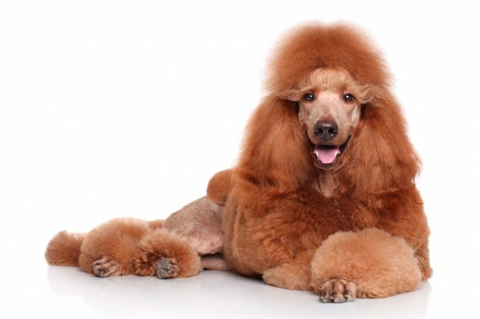Giant Poodle
