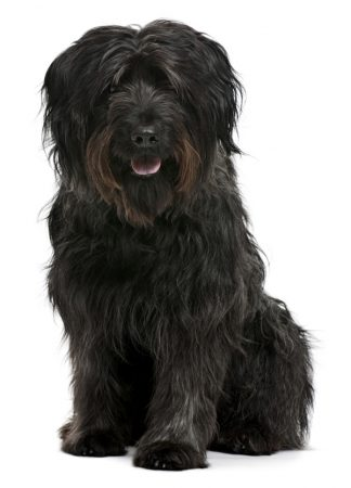 Havanese: Dog breeds that do not shed hair