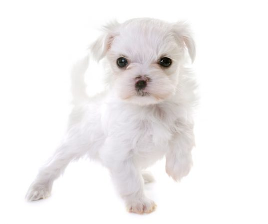 Maltese: Dog breeds that do not shed