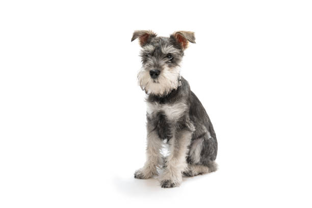 Miniature Schnauzer: Dog breeds that do not shed