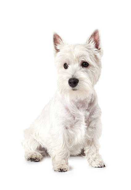West Highland White Terrier: Dog Breeds That Do Not Shed